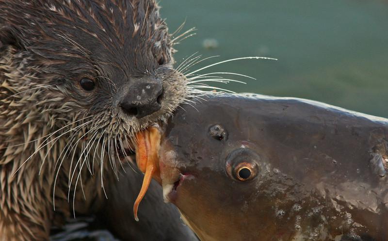 Otter and Carp