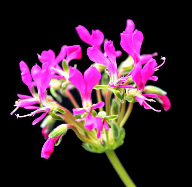 Pelargonium incrassatum Brian Makin Clone