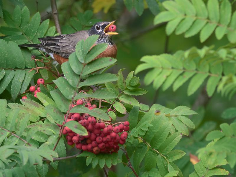 American Robin eating berries.