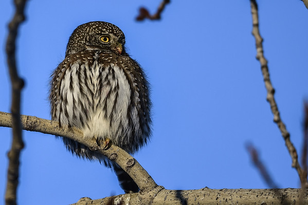 1-12-15 Northern Pygmy Owl - Late Afternoon