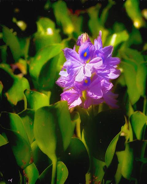 _Water-Hyacinth_DSC4008T.jpg