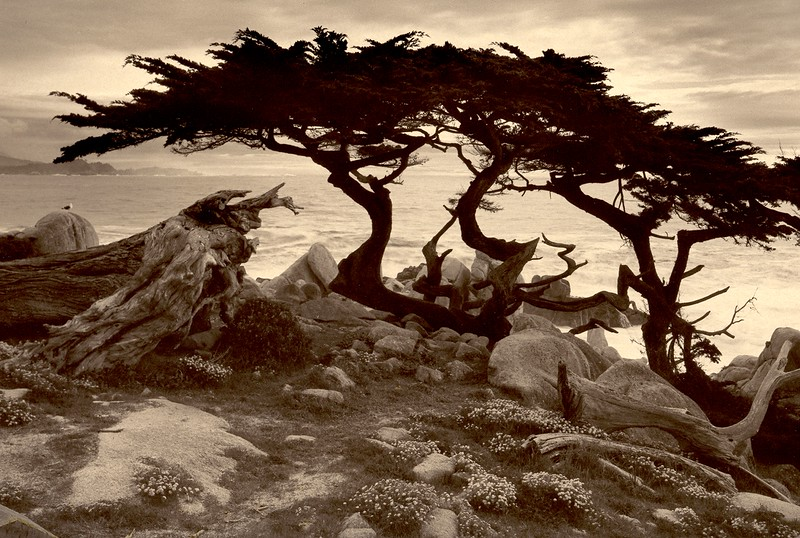 Monterey Cypress, Pebble Beach, California