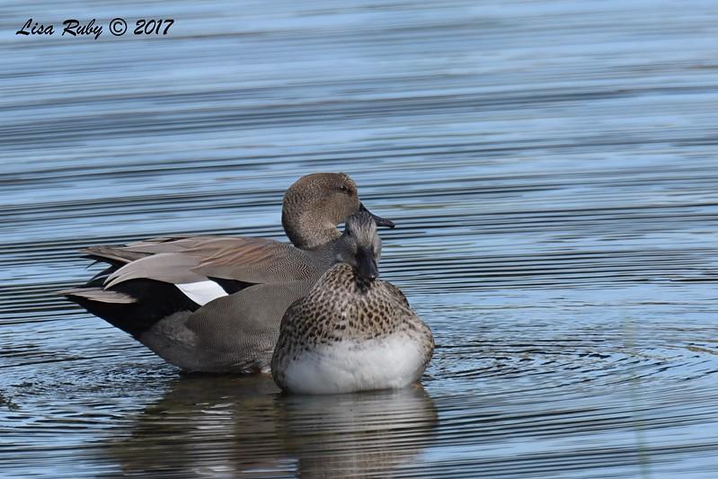 Gadwall  - 11/10/2017 - Santee Lakes