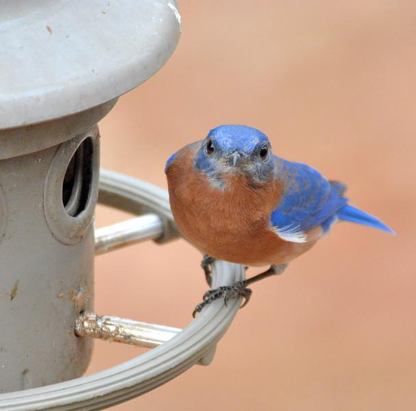 2016 xmas bluebird full face .jpg