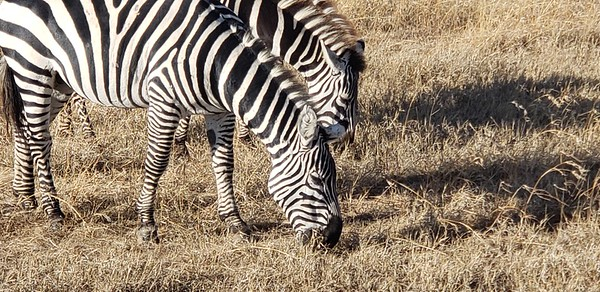 Zebras of east Africa 2018