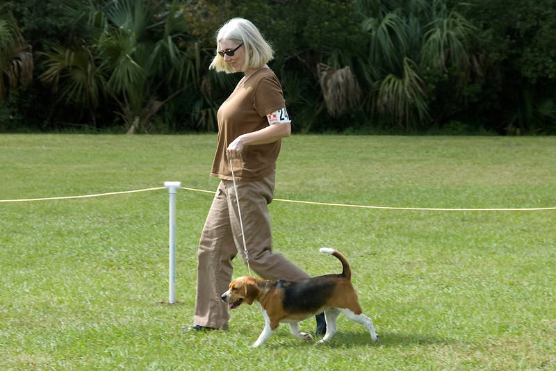 Beagle in Best In Match Senior Puppy competition