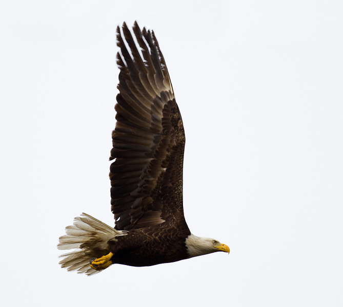 Bald Eagle - Stretches its wings in flight