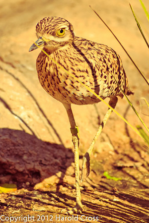 Cape Thick-knee