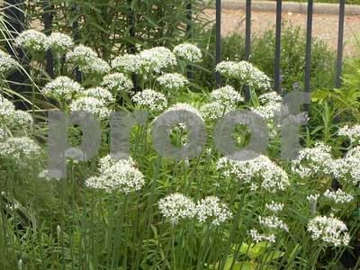 garden-chives-provide-tasty-garliclike-accent