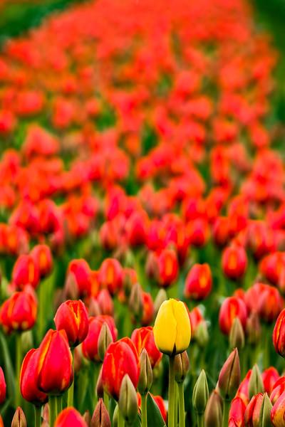 A Single Yellow Tulip