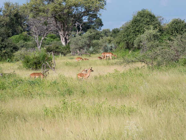 Little Mambo Safari Camp - Botswana