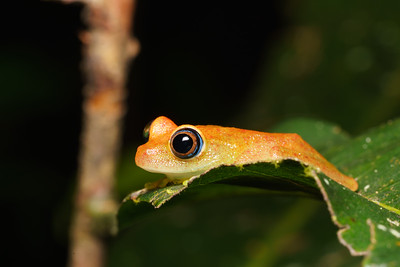 Green Bright Eyed Frog