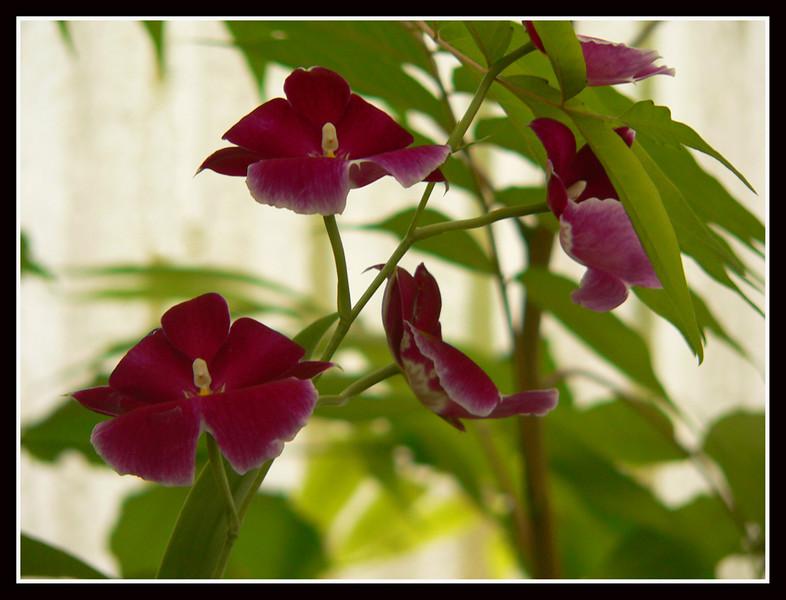 06FR35 Martel Orchidee Vincent 111.jpg