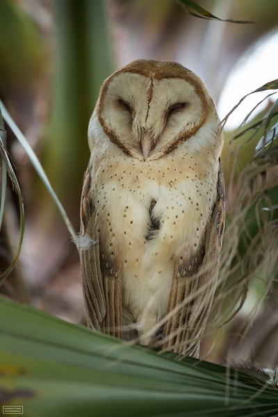 Sleeping Barn Owl