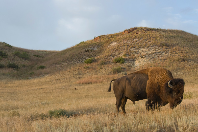 Bison and badlands in Theodore Roosevelt National Park, North Dakota