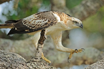 Juvenile Changeable hawk-eagle