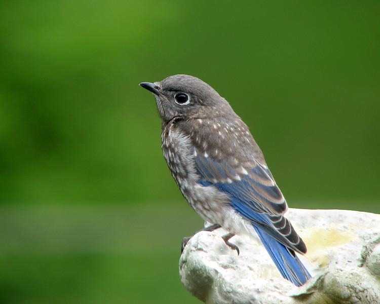 bluebird_fledgling_7673.jpg