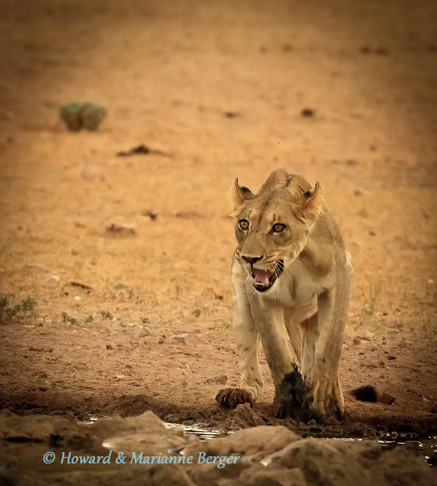 This lioness (Panthera leo) wanted to drink from the fresher water in the trough without getting dirty in the surrounding mud. After much hesitatuin and growling she jumped. She misjudged it. (panthera leo) (panthera leo)