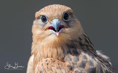 The International Centre for Birds of Prey