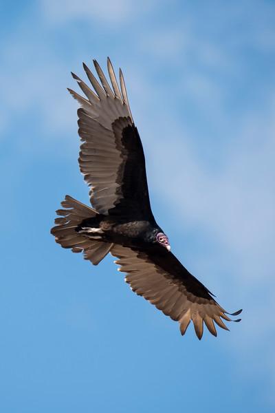 Turkey Vulture - Laguna Seca Ranch-Edinburg, TX