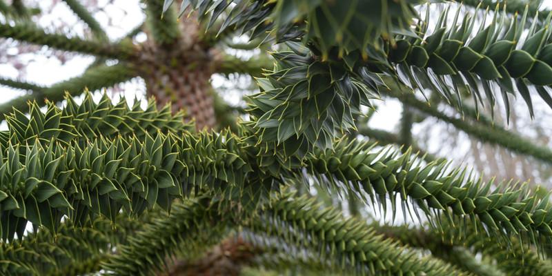Close up of Monkey Puzzle Tree (Araucaria araucana), Beacon Hill Park, Victoria, British Columbia, Canada