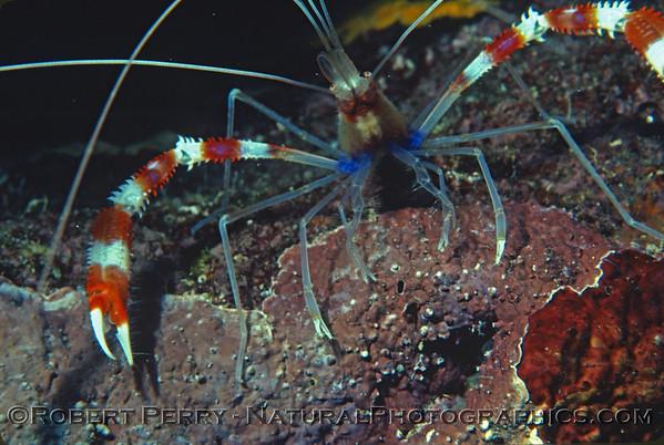 Crabs, Shrimp and misc Crustaceans