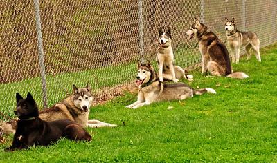 Ka-Bi's Siberian Huskies