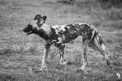 Wild Dog in Black and White