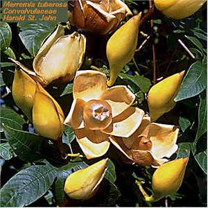 Rosas de madeira