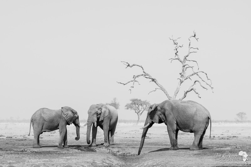 Monochrome Elephants