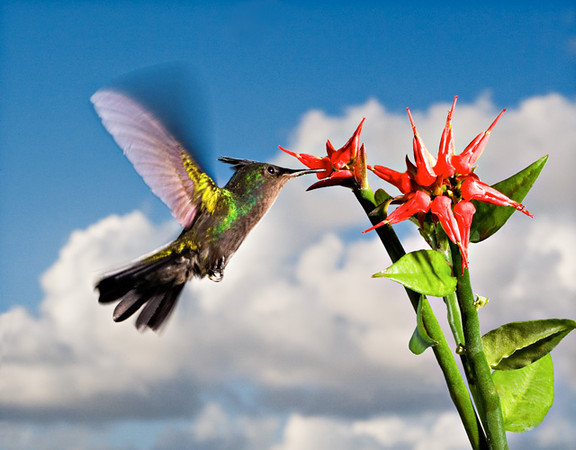Antillean_Crested_Hummingbird_and_Christmas-Cactus_WEB_Ted_Davis_3104302639.jpg