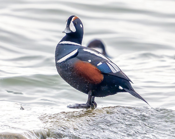 Harlequin sea duck