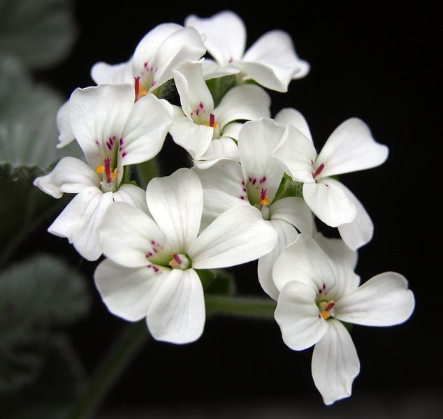 Pelargonium crassicaule flowes