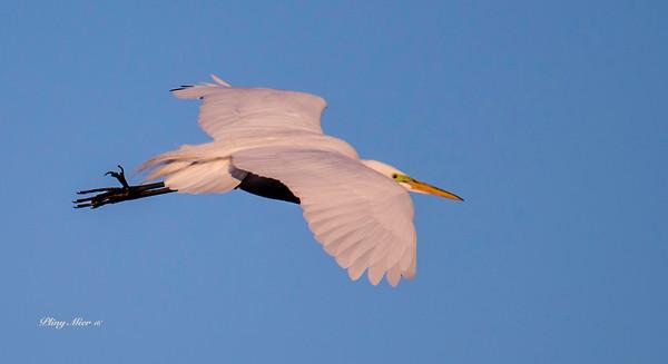 Great Egret IF_DWL3654.jpg