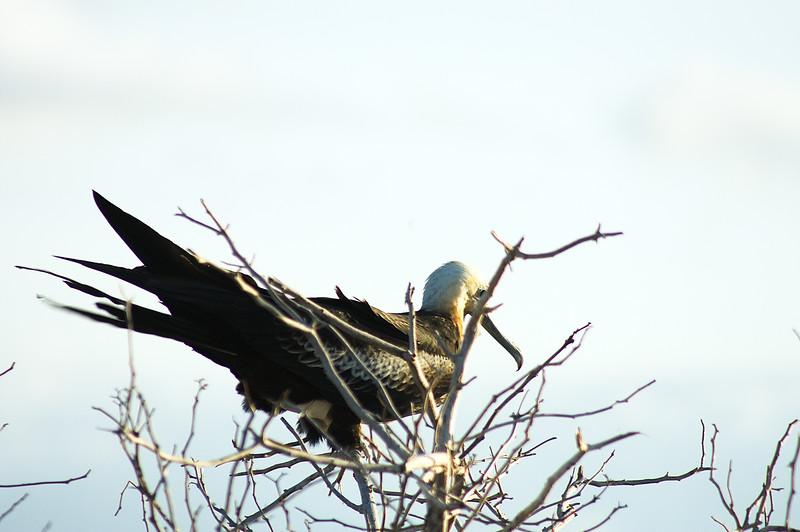Journey into Baltra Island in the Galapagos Archipelago 30 Female Frigate Bird
