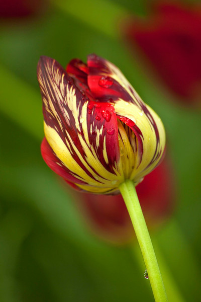 Red tulip bud with raindrop
