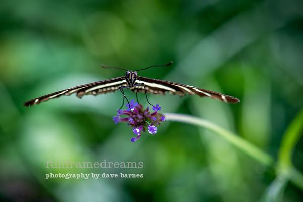 Geneva Butterflies