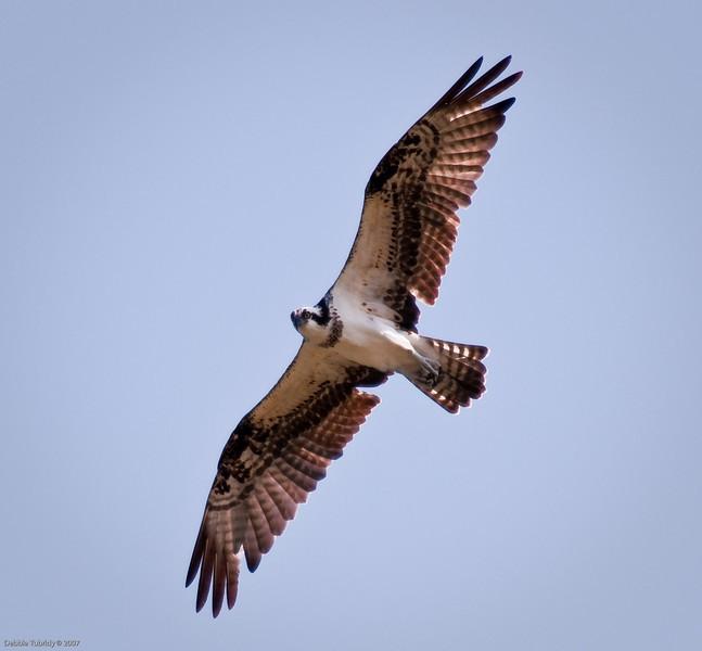 Osprey Loxahatchee NWR Florida © 2009