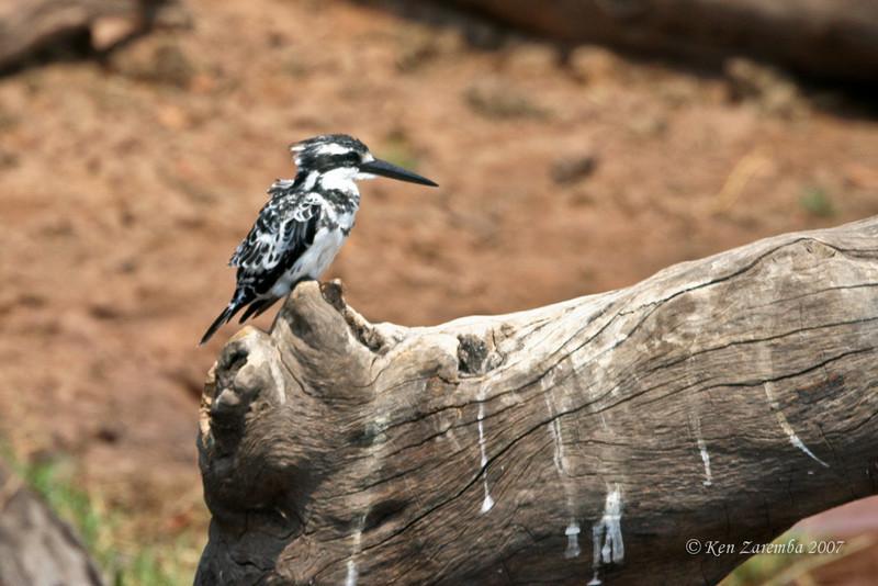 Pied Kingfisher, Chobe National Park, Botswana