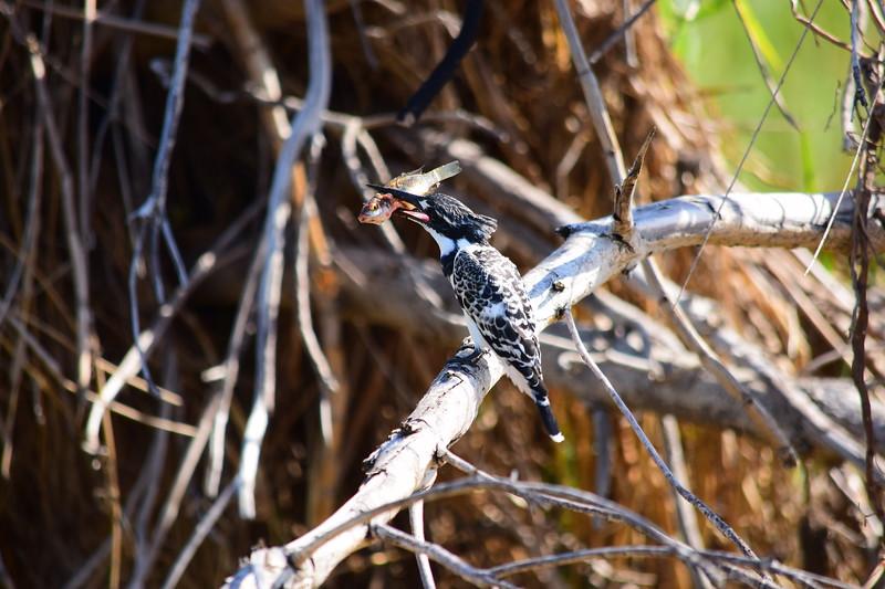 Pied Kingfisher With Kill