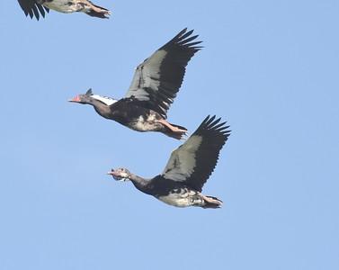 A 8 Geese,Ducks-Gänse,Enten