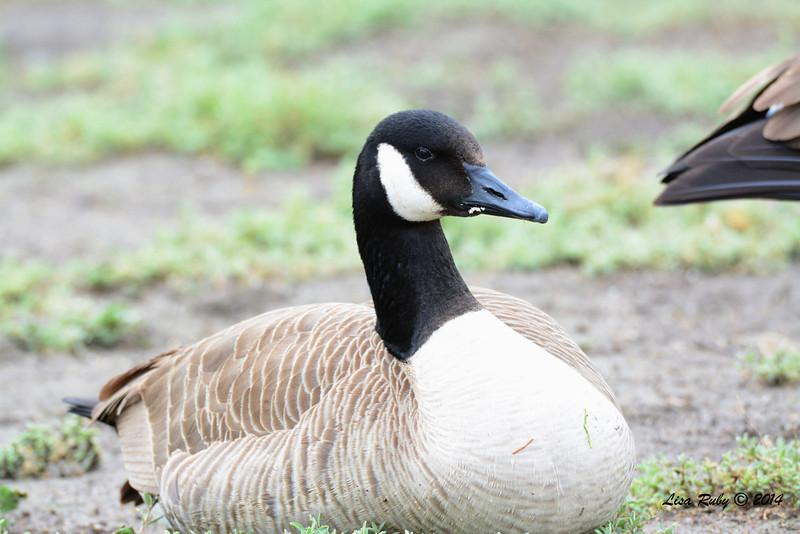 Canada Goose - 3/2/14 - Birding 100 San Diego Bird Festival