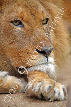 African Lion Wildlife Photography