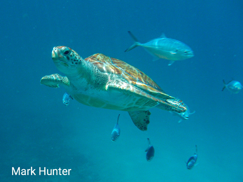 Green Turtle Swimming with Fish