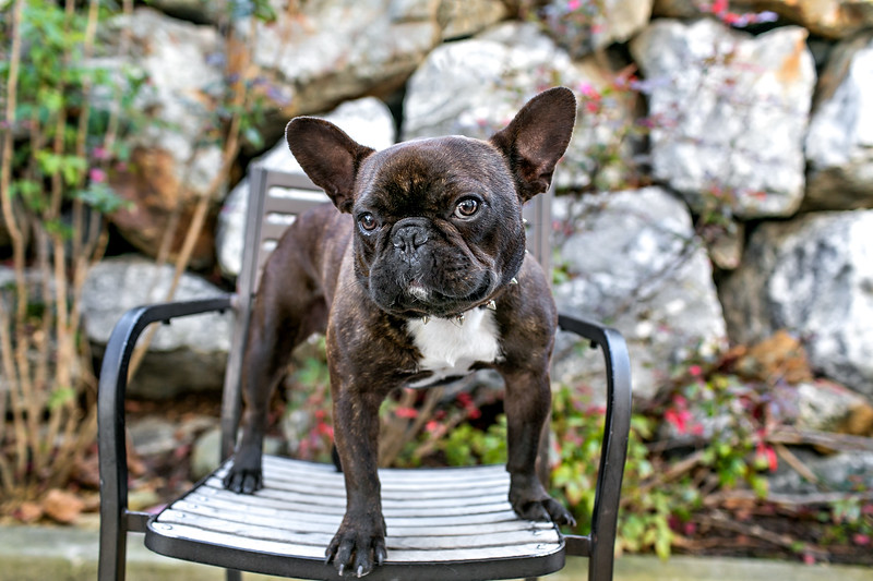 brindle-frenchie.jpg