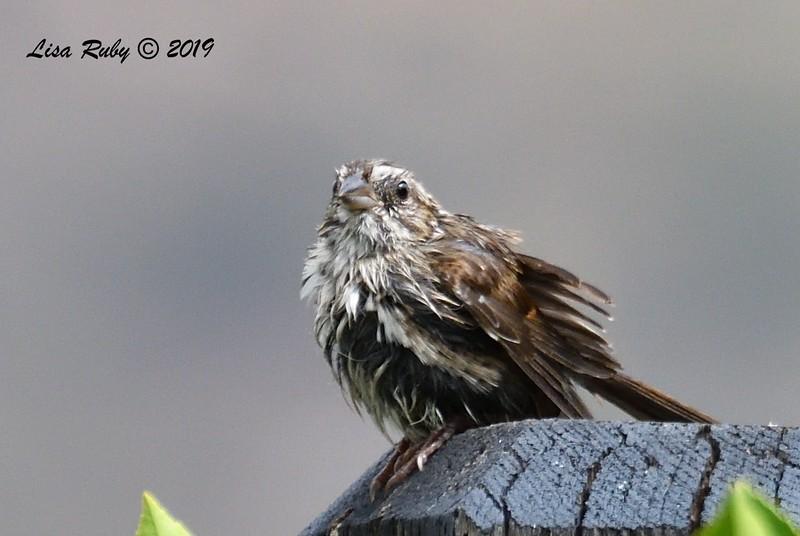Juvenile Song Sparrow After Bath - 06/19/2019- Sabre Springs Backyard