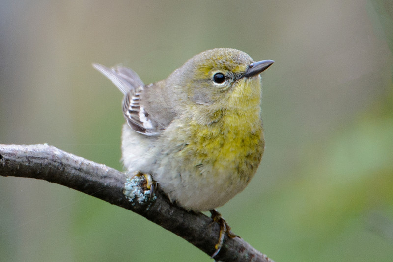 Warbler - Pine - female - Forest History Center - Grand Rapids, MN