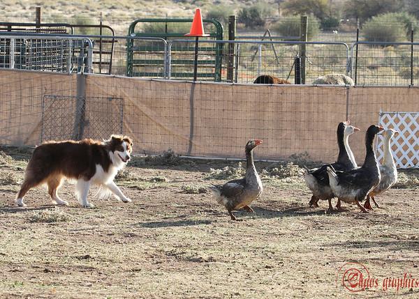 Tri-County Aussies Herding Trial - Geese