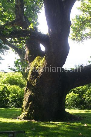Sycamore Tree - July 29, 2006