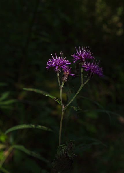 Brown Knapweed (Centaurea jacea) in Coffee Creek Watershed Preserve, Chesterton, IN